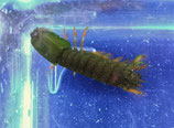 Odontodactylus sp, Fangschreckenkrebs