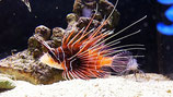 Pterois radiata, Strahlenfeuerfisch
