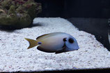 Acanthurus tennenti, Blauring-Doktorfisch