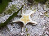 Iconaster longimanus, Mosaik-Seestern