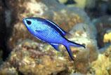 Chromis cyanea, blauer Chromis