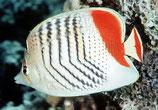 Chaetodon paucifasciatus, Rotmeer-Orangen-Falterfisch