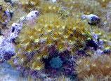 Parazoanthus sp, gelbe Krustenanemone
