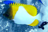 Hemitaurichthys polylepis, gelber Pyramiden-Falterfisch