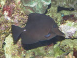 Zebrasoma rostratum, langschnäuziger Seebader