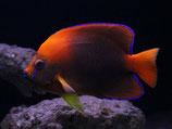 Holacanthus clarionensis, Orange-Prachtkaiserfisch