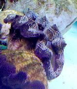 Tridacna crocea, Mördermuscheln
