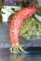 Colochirus sp, kleine rote Seewalze