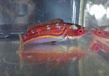 Cirrhilabrus laboutei, Laboutes Zwerglippfisch