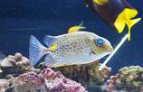 Siganus guttatus, Goldfleck-Kaninchenfisch