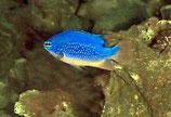 Chrysiptera taupou, Fidschi-Demoiselle