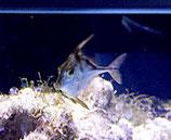 Tripodichthys blochii, Dreistachler