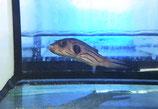 Arothron manilensis, Manila-Kugelfisch