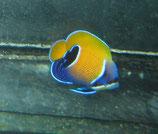 Pomacanthus narvarchus, Traumkaiser