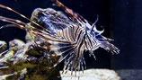 Pterois volitans, Östlicher Feuerfisch