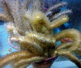 Pseudoplexaura sp, braune Gorgonie