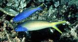 Hoplolatilus starcki, Veilchenkopf-Torpedobarsch