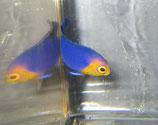 Centropyge argi, blauer Zwergkaiser