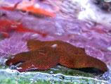 Echinaster luzonicus, vielfarbiger Blutseestern