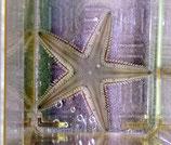 Astropecten jonstoni, karibischer Sandseestern