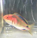 Cirrhilabrus exquisitus, Masken-Zwerglippfisch