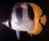 Chaetodon ulietensis, Doppelsattel-Falterfisch