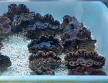 Tridacna maxima, Mördermuschel