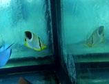 Chaetodon falcula, Keilfleck-Falterfisch