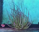 Anemonia viridis, Mittelmeer-Wachsrose