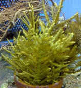 Pterogorgia citrina, Gorgonie gelb