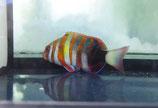 Choerodon fasciatus, Harlekin-Lippfisch