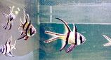 Pterapogon cauderni, schwarzweißer Kardinalbarsch