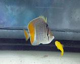 Chaetodon xanthurus, Gitter-Orangenfalterfisch