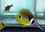 Chaetodon lunula, Mondsichel-Falterfisch