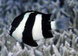 Dascyllus aruanus, Dreibinden-Preußenfisch