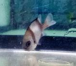 Dascyllus reticulatus, Pazifik-Preußenfisch