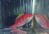 Cirrhilabrus flavidorsalis, Gelbrücken-Zwerglippfisch