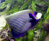 Pomacanthus imperator, Imperatorkaiserfisch