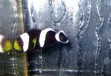 Amphiprion polymnus, Sattelfleck-Anemonenfisch
