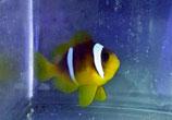 Amphiprion bicinctus, Rotmeer-Anemonenfisch