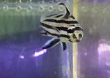 Pareques acuminatus, Streifen-Ritterfisch