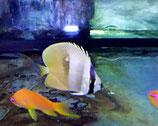 Chaetodon kleini, Kleins Falterfisch