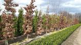 Beuken ( fagus sylvatica ) bomen