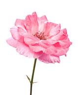 Rosenblütenhydrolat bulgarisch Bio 100 ml