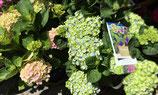 Hortensias variadas (sólo para recoger en tienda)