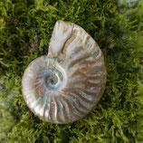 Fossile Nautile Irisée N° 4