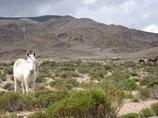 Argentinisches Muli - kein Esel, aber trockdem bockig