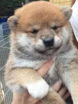 ☆販売済み☆柴犬 男の子 2017年4月25日生まれ
