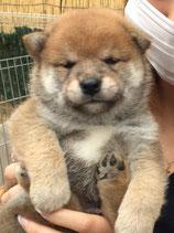 柴犬 女の子 2017年4月25日生まれ