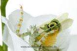 Pseudocreobotra wahlbergii /Afrikanische Blütenmantis L3/L4